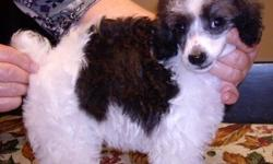 Very sweet little girl, housebroken, silver and white, 1 1/2 yrs., Loves to play and cuddle. Gets along with other dogs. Her hair is like the poodle, but grows slower. Pet home only. 352-473-9271 or 352-792-4253