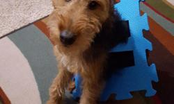 Welsh terrier born July 23 2015 Named Paco, current on all shots, attended puppy preschool and currently in begginers obedience. Paco is a very friendly and happy puppy, he is a wonderful addition to any family. We have already pre paid for intermediate