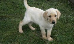 One beautiful yellow/white purebred lab puppy. 8wks old, farm raised, wormed. Very affectionate and LOVES to cuddle. Perfect for a family pet and ideal for a family with hunter in it! Family favorite of the litter so only the BEST of homes will be