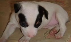 Only is a female ckc registered mini natural bob tail tri color type A rat terrier. Dam is a mini tri color type B tuxedo natural bob tail and sire is a mini tri color tuxedo type A. She will have all shots and wormings and can fly Delta Air for an added