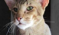 Oriental Short hair chocolate tabby male cat is looking for a permanent pet home. He has been neutered, vaccinated, dewormed and is litter box trained. Ilang is a 3 year old European style show cat that we imported as a kitten. He is very people oriented,