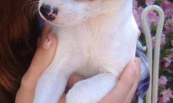 Palms is a male standard type A tri color CKC registered rat terrier. Born 2/25/11 he will have all shots and wormings. He can fly Delta Air for an added fee.