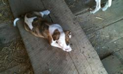 VERY CUTE PUPPIES, MOTHER AND FATHER ARE AMERICAN PITS BOTH ARE VERY GOOD DOGS