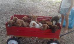 10 Super Cute pit/curr puppies born on Good Friday in need of good home. Asking 50.00. Already had first set of shots and were 6 weeks old 6-3-2011. Please call 863-332-3495 for more info. Thank you and have a blessed day. Please only serious calls only.
