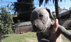2 months old blue nose pits re homing fee 200 obo 1 solid blue boy 2 black females 1 tan female 1 tri color father on premises not for fighting