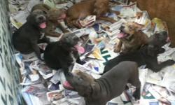 bluenose pitbull puppies looking for good homes they are all blue but a littel white in the chest call 407-703-3209 for more info