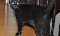 Black domestic short hair. Weighs about 9 lbs. Last seen in the vicinity of 3rd & Lee St of Old Louisville. Missing since 11/15/10. P