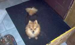 4 year old female Pomeranian.Up to date on shots and micro-chipped.She is a beautiful dog,she is timid at first when meeting new people,once used to them she becomes very playful,cuddly,and is very loyal to them.She would do best in a home with a fenced