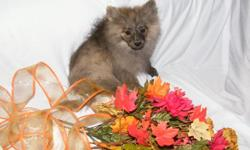 Pomeranian puppy available. 1 male. CKC reg. Born 07/21/12. All vaccines completed. 1 year Health Guarantee.  Playful, healthy, and sweet personalities. Call  Gabby --  I will drive to meet partway when picking up puppy if driving long