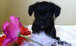Very tiny hearty mix. Should be non shed and hypo-allergenic. Mom is chihuahua, and weighs 4.5lbs. Dad is a red toy poodle and weighs 3lbs. Two males available. Tails docked and dewclaws removed. Current on vaccines and wormed. These puppies will be very