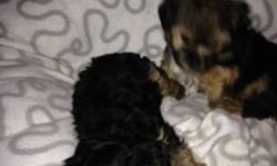 Tiny, cute, registered male and female Yorkie Puppy for adoption. They are home and potty trained and she is very lovely with kids. Have all their health papers.  12 weeks old and likes to play with people. All we want for them is a good and caring