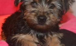 Potty Trained Yorkie Puppies Perfect companion u will ever have,paper & house trained and has all their shots ,health and vet papers, they are very friendly to kids and other pets,PLS TEXT ME ONLY AT ()-