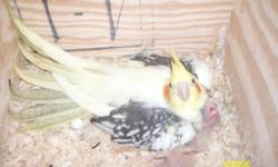 I have a proven pair of cockatiels I am selling. 3 years old, pied female /split to cinnamon and normal male. Great parents, good feather. Pretty babies, usually has 3,4 babies in one clutch. Gives off all colors including cinnamon and cinnamon pied,