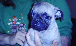 male pug pup ckc reg, has had shots and been wormed parents on site 200.00