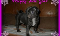 Black pug puppy is 9 weeks old and comes with CKC registration papers, shots, and health certificate from my vet verifying excellent health. Puppy has been socialized with young children and pets. Mommy and Daddy are family pets and are available to