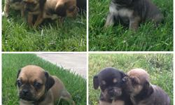 Puggle Puppies for sale! 4 Girls Puppies 2 Boy Puppies Registered Ready to leave the end of October. Willing to hold for Christmas for an extra housing fee Will have first round of shots! Please contact if you would like to meet the pups