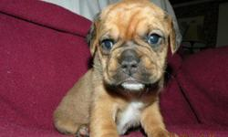 We have 2 litters of 2nd generation Puggle puppies ready for their new forever homes now. Dolly's were born 7-26-11 & Jazz's 8-4-11. We have 6 males and 3 females left that are available, 1 tri-color left and rest are various shades of fawns! Our puppies