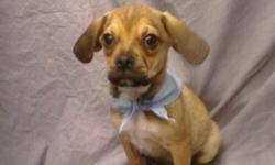 Cute designer Puggle puppy for sale in Florida. Has all shots/dewormings up to date, health certificate and comes with a FREE vet visit! Call (828)-253-2392 and visit www.yourpetcity.com