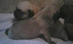 Hello everyone we have some puggles for sale they are ready to go if any is interested let me know my email is wood2015@yahoo.com please let me know cause they go very quick.thank you if you wanna call please do. I will give you more info thanks.they are