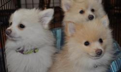 1 white and 1 sable colored pomeranian pups born the end of January. Both are male puppies and AKC registered.
