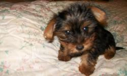 Alex and Gina are 2 month old Yorkie.They are  filled with energy, love and attention, attention and care that I can no longer provide. I'm a mother of three children and no husband . My intention was to keep Alex along with his mom and dad but they