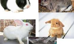 Rabbits, Bunnies $12ea. or 2 for $20 Lion Head, Mini Lop, Rex, Dwarf, NZ, Dutch, CottonTail, & Mixed baby-adult 173 Blackberry Lane Augusta,GA 30906 504-581-6222