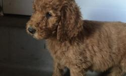 AKC Red Standard Poodle Puppies ready for their new home.  8 weeks old.  Tails cropped and declaws removed at vet, along with being wormed twice and having first set of shots.  Parents are household pets.  Puppies have been raised