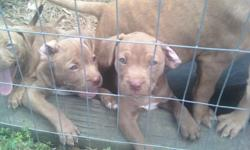 8 week old rednose pit pups. 3 girls and 3 boys left. Parents on site. They are great little puppies and good with kids already. Parents have very gentle demeanors as well. The pics are of puppies, mom and dad together and just dad.