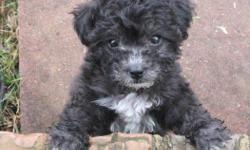 Two registered male Toy Poodle puppies. Will be gorgeous silver color, currently black until puppy coat is sheared. Extremely well socialized, raised in our home. Will tell you when they need to go outside, or use papers if you don't respond immediately.