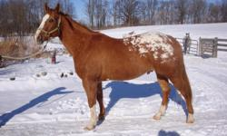 registered appaloosa gelding 15.3 hands sorrel with blanket,gentle,sound,loads,stands for farrier,shown at halter,riden on trails and road.used for lessons with beginner riders.