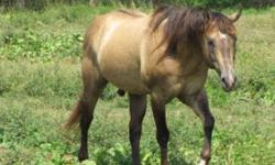 I have several horses still for sale - cutting back - too many for one person to care for anymore I have a Reg AQHA Dun stallion 15.1 - 18 yrs old - proven color producer - he has the dorsal stripe, stripes over withers and leg barring.- he was broke as a