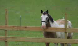 Beautiful 14 year old registered paint 15.2h. Color Buckskin/ with white and black. Sire: Twisters Blarney, black/ overo and Dam: SH Quicken ( QH) Bay. Great horse for intermediate rider. Easy to catch, stands for farrier, up to date on all shots