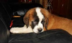 Tyler is the best and the last of our litter. He was born April 27, 2012 and now weighs about 30 lbs. His mom and dad are with us and they each weigh about 140. He is up to date on his shots, and has had a health exam by our vet. If you