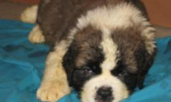 3Bkennel is proud to announce that we are now offering AKC CH Saint pups. We have 2 pet quality femals and one show male. All of our pups come with a health guarantee, shots and wormings to date. If you would like to see our pets and dogs, please go to