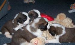 We have three males and one female puppy. These puppies are weaned and eating puppy food. No family history of hip problems. No papers, father has papers but the person I purchased their mother from moved before I could get the papers for her, in the