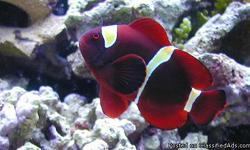 Have you ever wanted a saltwater aquarium? Stop in and learn how to setup and maintain a marine aquarium! Already have a saltwater aquarium? Stop in and check out our selection of fish, inverts, and corals! LAKE COUNTRY PETS 600 HARTBROOK DRIVE HARTLAND,