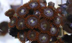 We offer huge selection of corals... both frags and colonies. Our stock is healthy and variety is amazing. Call to make an appointment to check everything out!