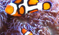 JJ's Reef & Aquarium in Moses Lake WA has a full line of saltwater animals from fish, corals and inverts for your reef aquarium plus a full line of aquariums and supplies! We have Walt Smith Live Rock, For coral We carry LPS, SPS and softies. We have over