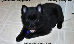 RARE to Find, SCHIPPERKE PUPPIES!! Our Family pet Schipperkes had 5 new babies on February 16th, 2011 (our 4th litter). Mom is AKC & Dad is CKC Registered. Puppies are raised IN OUR HOME becoming accustomed to everyday living and sounds. Our puppies are