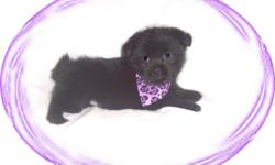 This baby boy is so cute. He looks like a little bear. He loves to play and is so funny to watch. He is a Schipperke and a Lhasa mix-mostly Schipperke.He comes with his first series of shots, wormings and a Vet Health Certificate. He also comes with a