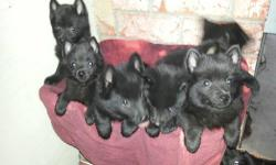 5 Handsome purebreedschipperke male pups. Qualty pups ready for loving homes now. 12 weeks old. These boys are very socialized and confident. Puppies have had shots and have been dewormed. Father is AKC, mother will be