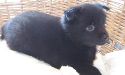 The Schipperke originated in Belgium and means Little Captain. They were used for guarding barges and killing rodants. They can withstand subzero temps and hot weather too. They are great companions and theygo with us fishing camping ect. They require