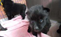 Schipperke puppies for sale. Four female and one male. AKC registered. They have been docked and have had declaws removed. Scheduled for 1st shots on July 29th. Born on June 20th and will be ready to go to new home on Audg 20th. Looking to find good homes