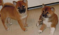I have 3 BEAUTIFUL little boys for sale! They are the sweetest most friendly puppies in the entire world!! The mom and dad are both on the smaller end of the Shiba Spectrum. The mom is only about 12 lbs, and the dad is about 15 lbs. Mom is a Sesame, and