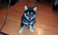 Shiba Inu puppies for sale. 1m, blk/tan, 1f red. real cuties. AKC full registration. shots and worming. Ready to go now. Next litter due mid January 2013. Send email inquiries to ktyxes1@att.net or call me at --. If you have to leave a message, I will