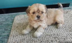 1 BEAUTIFUL PUREBRED TAN FEMALE SHIH-TZU 8WKS OLD. BORN ON 3-11-14. ABSOLUTE GORGEOUS AND VERY PLAYFUL.