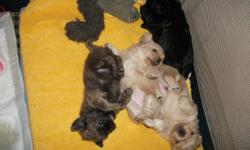 shih-tzu/peke-a-nese puppies 1 male-brown 2 females- 1 cream 1 black vet checked home raised parents on site will be ready by sept. 16 Contact if interested 608.963.5167 608.448.2010 Located in Lake Delton, Wi
