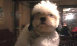 shih-tzu puppies varry cute ready for love has had first shots and been wormed. 150.00 561-881-3326