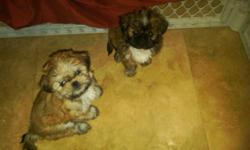Seven weeks old Shih-Tzu puppies. APRI registered and includes pedigree (shows past generations). One female and two males. Vaccinations also included. The males are $500.00 and the female is $600.00. More info call or text Michelle at 786-459-4567.