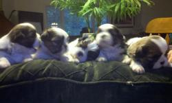 AKC certified and registered! Champion bloodline. Will be ready beginning of August. Serious inquiries only please!